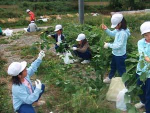小川小学校3年生枝豆収穫